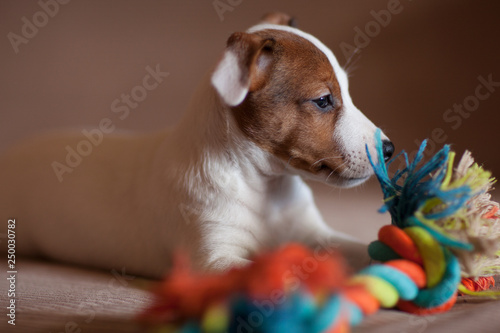 A small puppy Jack Russell Terrier with brown speck on