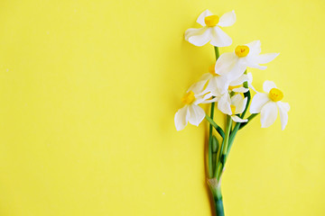 Yellow white daffodil, narcissus, jonquil flower close up on bright yellow background with a lot of copy space for text. Blank template for Mother's day, March 8 women's day, Valentine greeting card