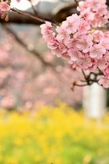 南伊豆 みなみの桜と菜の花祭り