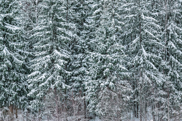 Snow on the spruce trees in the forest at winter day time.