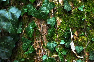 Beautiful, green wild ivy on tree bark in the forest