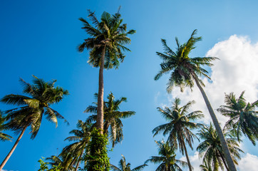 Afternoon in the garden with coconut trees.5