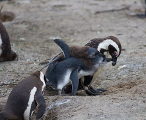 African penguin family: mother with two new born babies chickes. Feeding chickers