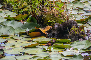 Minks on a pond