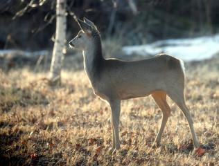 Roe deer is seen in Liepupe
