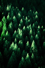 Lush Green Pine Trees Forest Growth with Sunlight