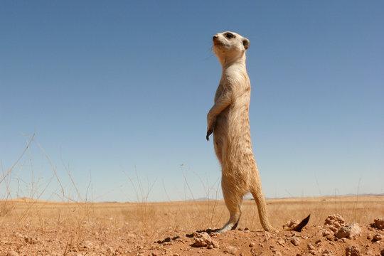 suricate guard standing upright