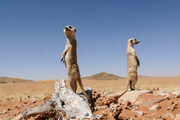 two suricates on outlook looking very watchful
