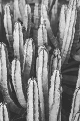 nature poster. cactus. black and white