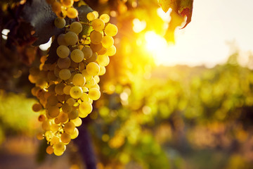 The yellow grapes on a vineyard with sunlight at sunset