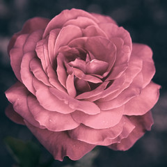 Stylized rose close up