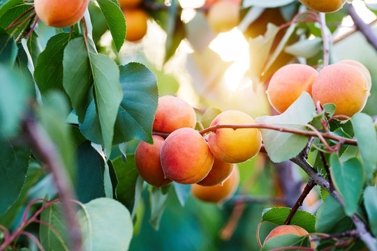 A bunch of ripe apricots on a branch