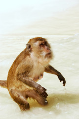 Crab-eating macaque for food at the beach on Phi Phi Don Island, Krabi Province, Thailand