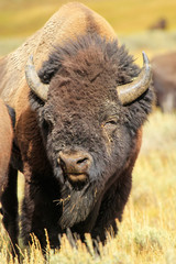 Portrait of a male bison, Yellowstone National Park, Wyoming