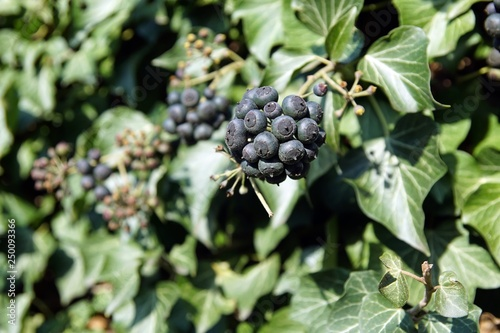 Efeu Hedera Helix Beeren Stock Photo And Royalty Free Images On