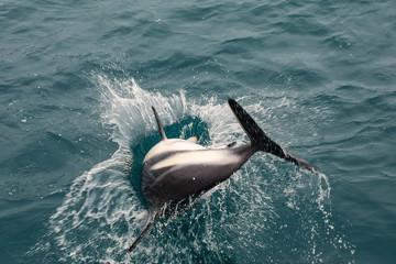 Dusky dolphin playing in the ocean near Kaikoura, New Zealand