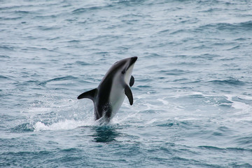 Dusky dolphin leaing out of the water