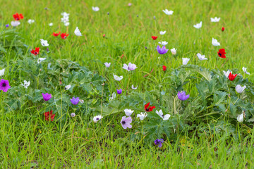 Field of colorful Anemones flowers and foliage over green background.