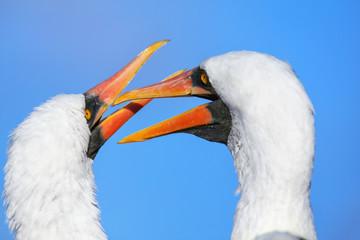 Portrait of Nazca boobies grooming each other, Espanola Island, Galapagos National park, Ecuador.