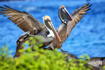 Brown pelicans on Espanola Island, Galapagos National park, Ecuador