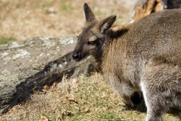 Portrait of australian kangaroo (marsupial)