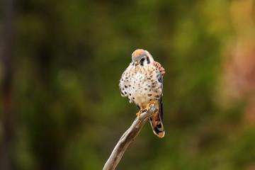 American kestrel siting on a stick