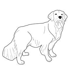Golden Retriever Adult Standing, Vector Illustration