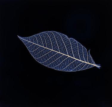 blue transparent leaf on a black background