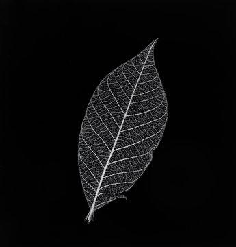 transparent leaf skeleton on black background