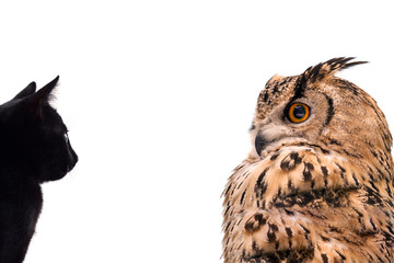 Fototapete - A horned owl and a black cat look at each other. Isolated on white background.