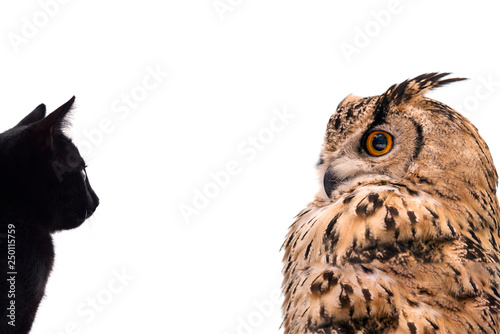 Wall mural A horned owl and a black cat look at each other. Isolated on white background.