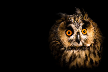 portrait of an owl Fotomurales