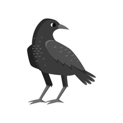 Big rugged black crow isolated on white background
