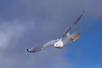 Ring-billed Gull Soars in Blue Sky