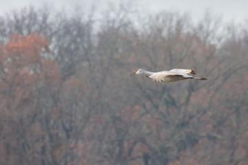 Sandhill Crane Glide Across Tress