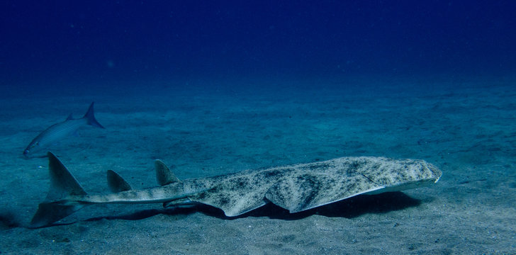Angel shark swimming over the sand. Squatina squatina in the sand