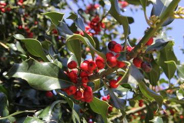 fruit in tree, berry