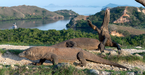The Komodo dragon (Varanus komodoensis) stands on its hind legs and sniffs the air. It is the biggest living lizard in the world. On island Rinca. Indonesia.