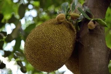 jackfruit in nature