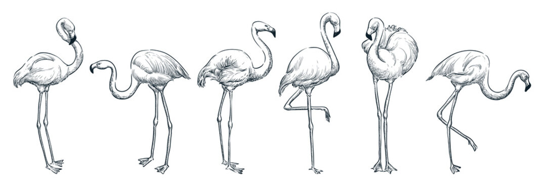 Flamingo in various poses, vector sketch illustration. Tropical birds hand drawn print design elements set