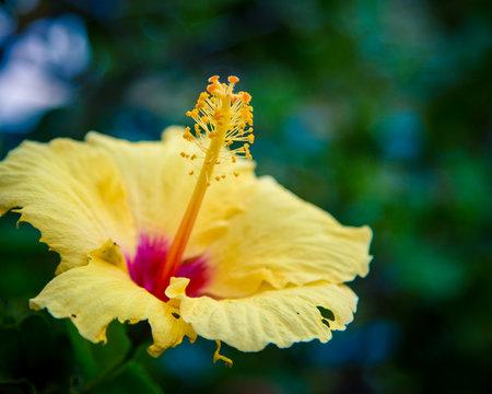 yellow hibiscus flower Hawaii