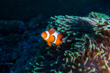 Wall Mural - Beautiful Clownfish in their home anemone on a coral reef in the Andaman Sea