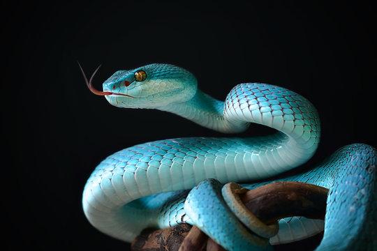 Blue Insularis Snake