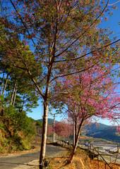 sakura blossom tree on small street under blue sky