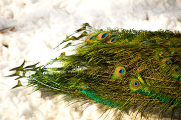 Peacock's tail on a background of snow. Peacock in the winter. Close-up. View from above.