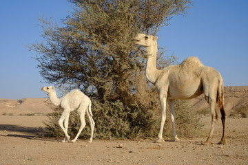 Dromedary or Arabian camel with its calf