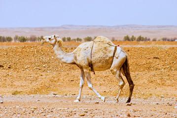 Arabian or Dromedary Camel walking alone in the desert