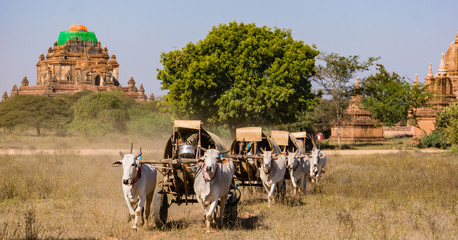 ox drawn carts carry pilgrims home from the annual Ananda Pagoda festival