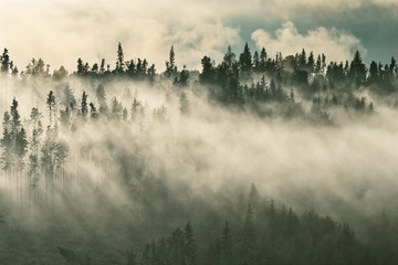Wall Murals Morning with fog Foggy mountain ranges covered with spruce forest in the morning mist