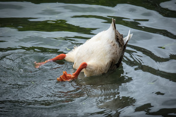 Funny Duck Butt, upside down animal diving in the water